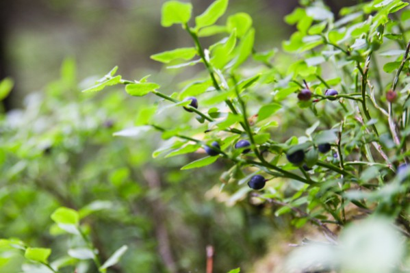 Blueberries and Bilberries