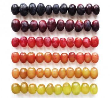 food gradient tomato