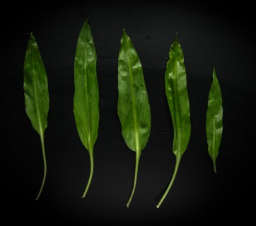 What's the difference between Ramps and Ramson?